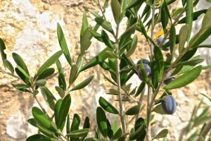 la tapenade verte ou noire pour un apéritif provençal coloré et savoureux