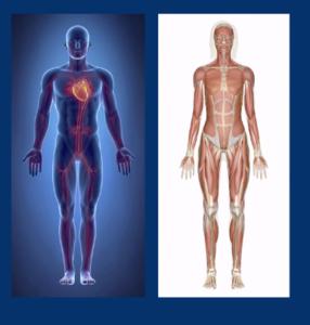 Le coeur amène de l'oxygène et du glucose aux muscles quinous permettent de nous mettre en sécurité